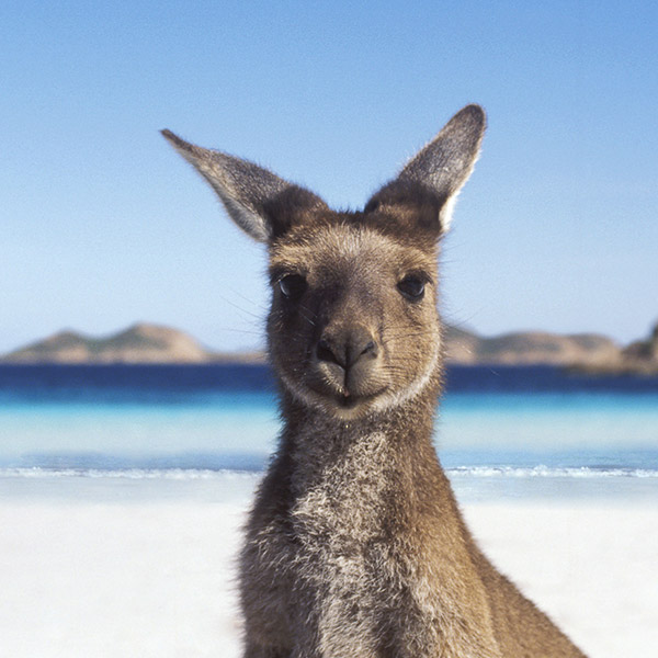 kangaroo_600_600